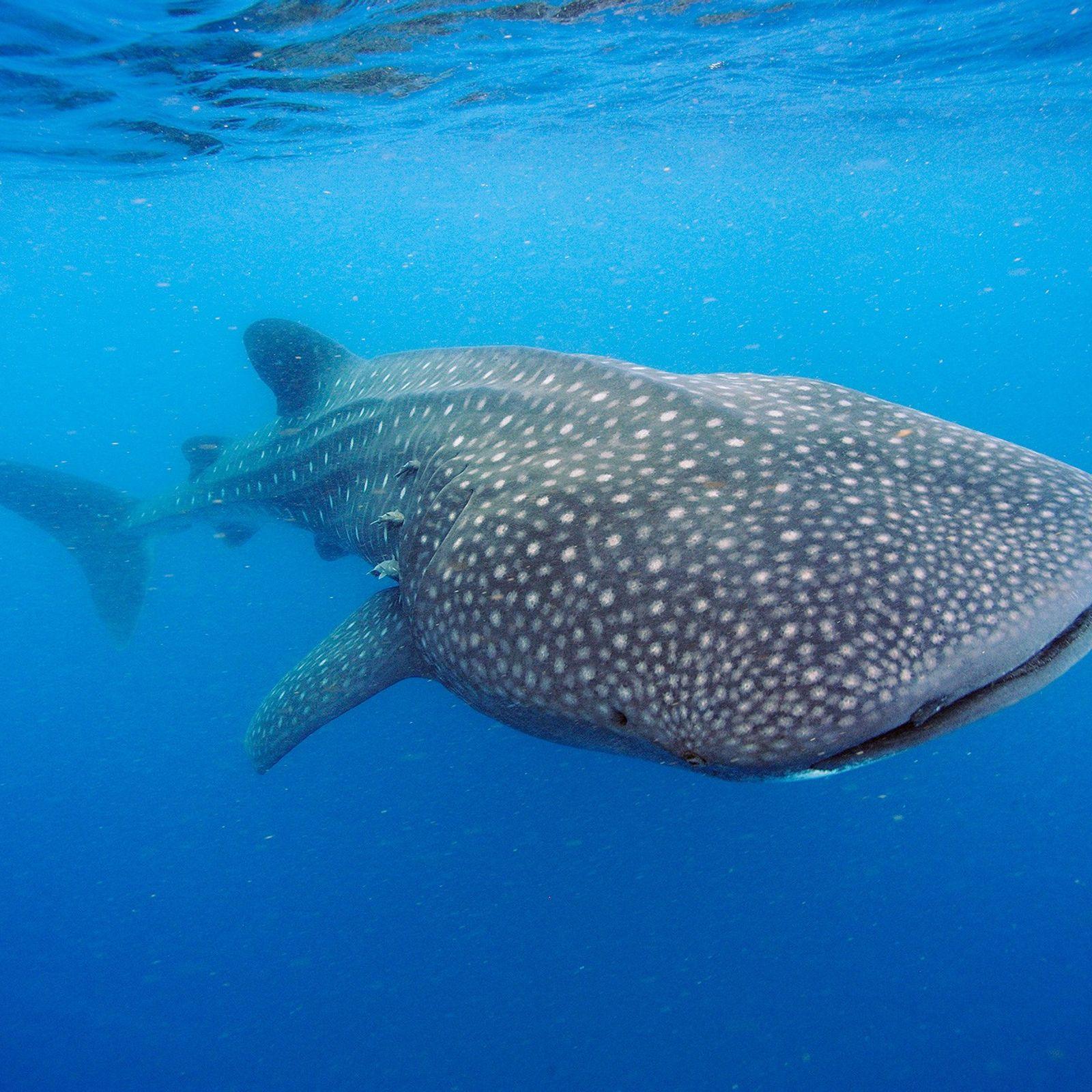 Ein Walhai schwimmt vor der Küste der Halbinsel Yucatán. Diese Meeresriesen können über zwölf Tonnen schwer ...