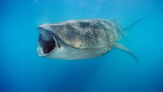 Von wegen Fleischfresser: Walhaie verzehren große Mengen Algen