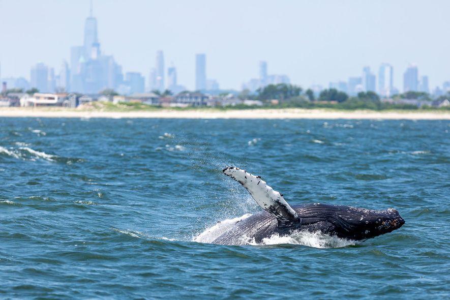 Walbestände boomen im New Yorker Hafen