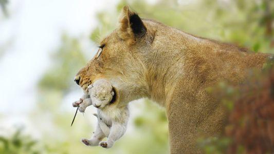 Seltenes weißes Löwenjunges in Südafrika gesichtet