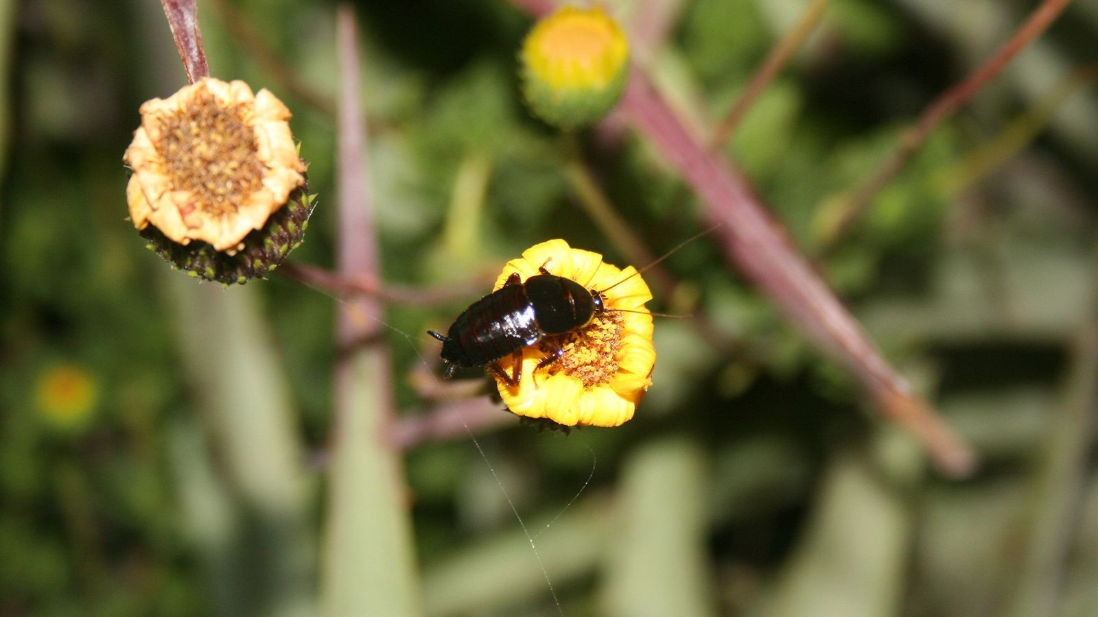 Kakerlake auf einer Blume