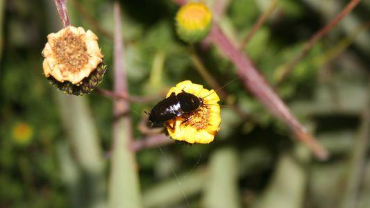 Diese Kakerlake bestäubt vielleicht Blumen
