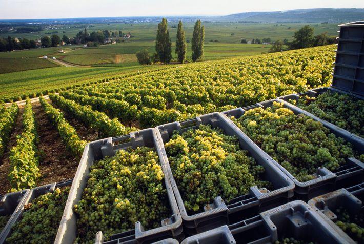 Im Burgund werden die Chardonnay-Trauben inzwischen mehrere Wochen früher gelesen als noch vor ein paar Jahrzehnten. ...
