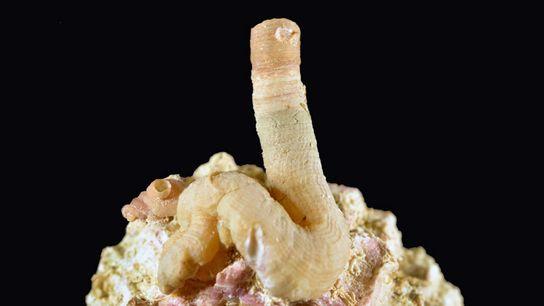 01-worm-snail-holotype