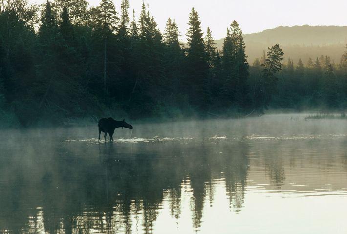 Eine Elchkuh watet durch einen See in Isle Royale National Park, Michigan.