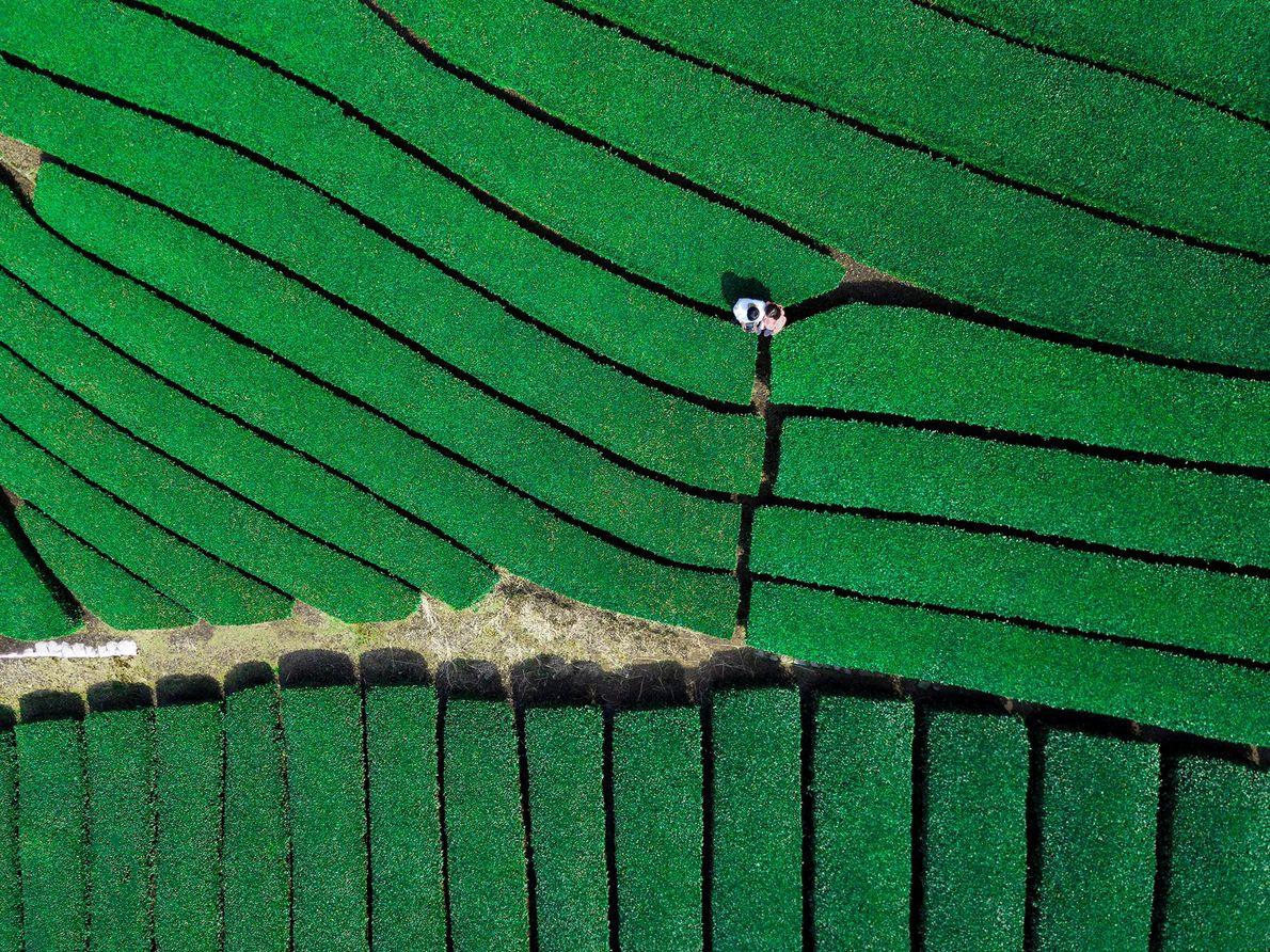 In den grünen Teeplantagen auf den südlichen Hügeln Kyotos können Besucher Matcha und Gyokuro verkosten und ...