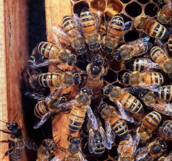 Arbeitsbienen umgeben eine Honigbienenkönigin im Vereinigten Königreich, während sie ihre Eier ablegt.