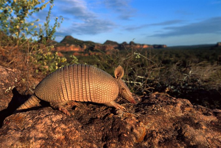 Brazil's Cerrado, South America's largest savanna, is a haven for the seven-banded armadillo and hundreds of ...