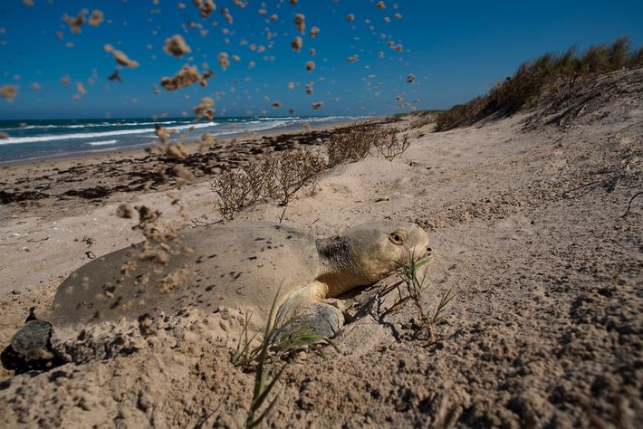 A Kemp's ridley sea turtle digs a nest on a beach in Rancho Nuevo, Mexico. This ...