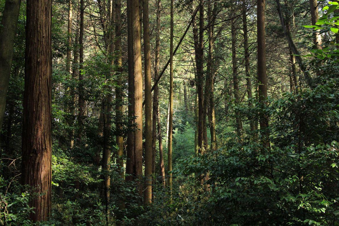 Das Morgenlicht fällt durch das Blätterdach des Waldes auf dem heiligen Berg Inari. Ein Gang aus ...