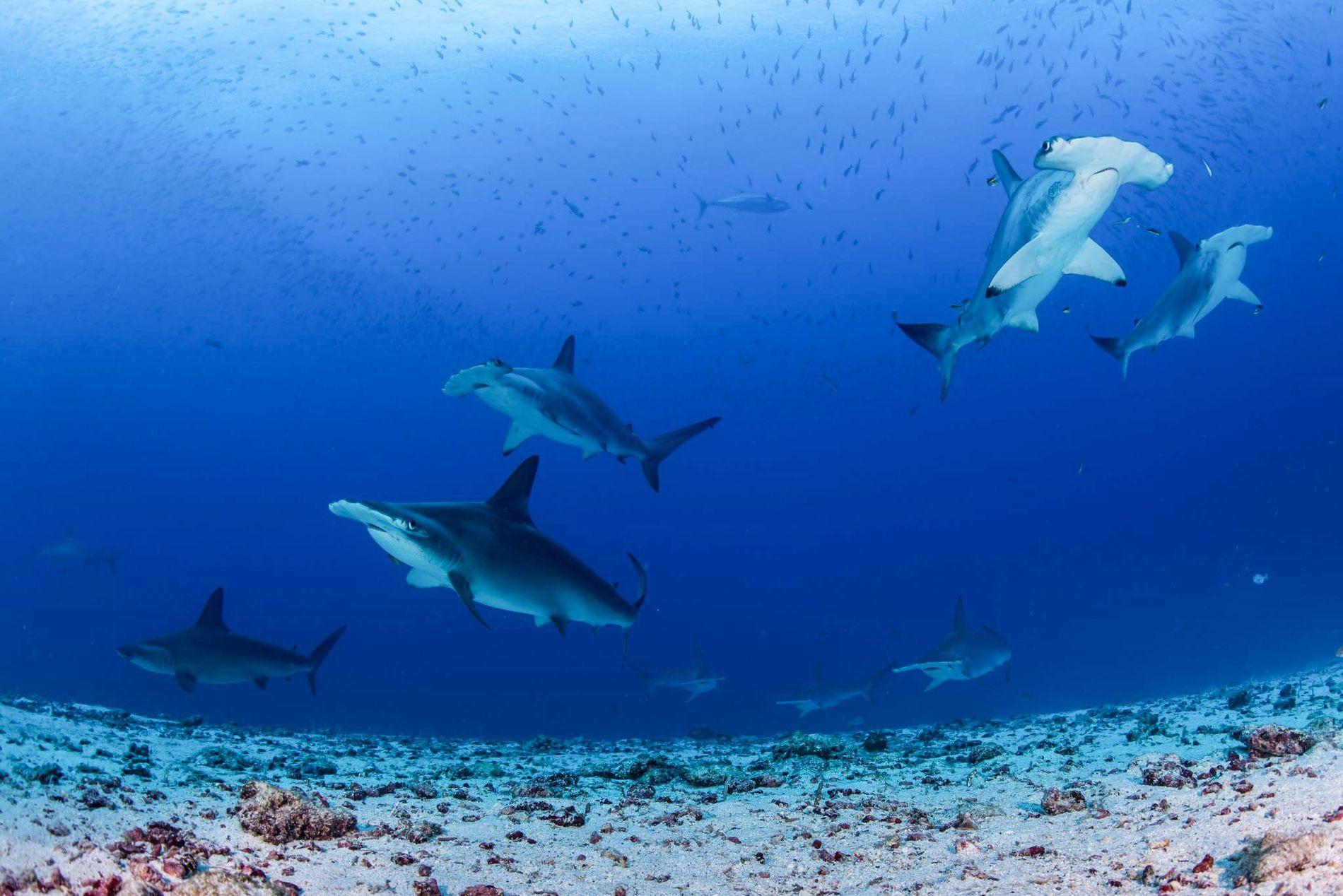 Hammerhaie in Hülle und Fülle