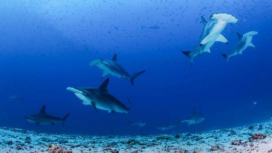 Im Galapagos-Meeresschutzgebiet gibt es die größte Haidichte der Welt