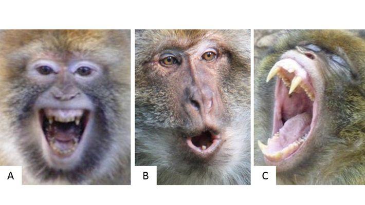 Erkennt ihr die Stimmung eines Makaken an seinem Gesicht?