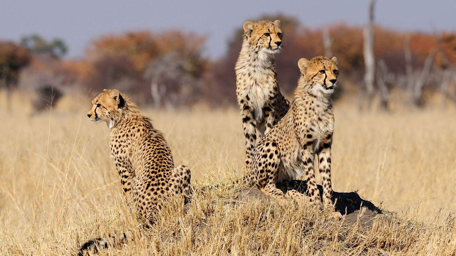Drei ausgewachsene Geparden
