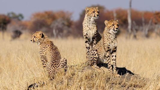 Wissenschaftler kämpfen um die Gefährdungskategorie des Geparden