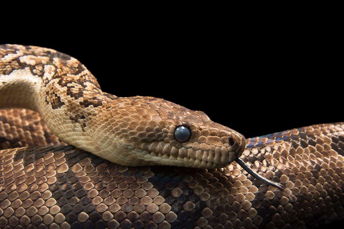 Erstmals beobachtet: Schlangen rotten sich für die Jagd zusammen