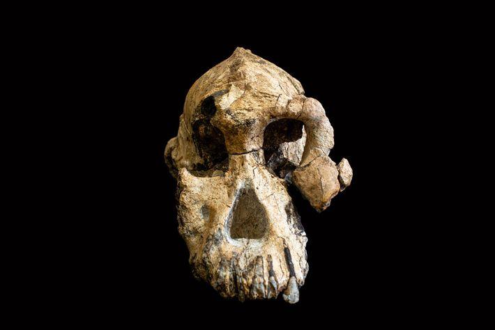 Offiziell benannt als MRD-VP-1/1 gehörte dieser Schädel Australopithecus anamensis einem frühen Vorfahren des Menschen.