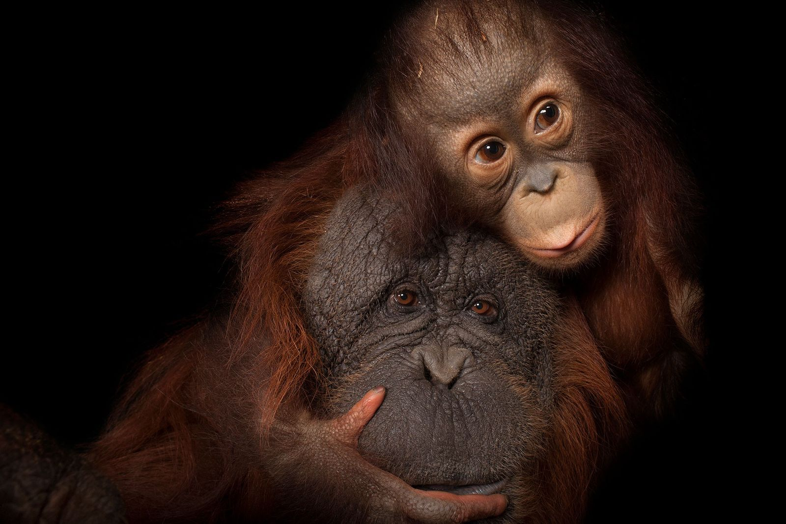 Ein junger Borneo-Orang-Utan mit seiner Adoptivmutter. Die Primaten sind vom Aussterben bedroht.