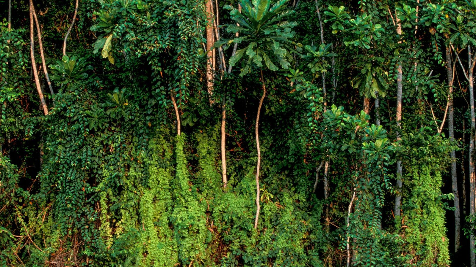 Bäume im Regenwald bei Rabi, Gabun. Gabun hat einen Großteil seines ursprünglichen Regenwaldes erhalten und in ...
