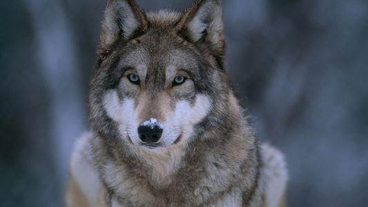 Galerie: Wölfe