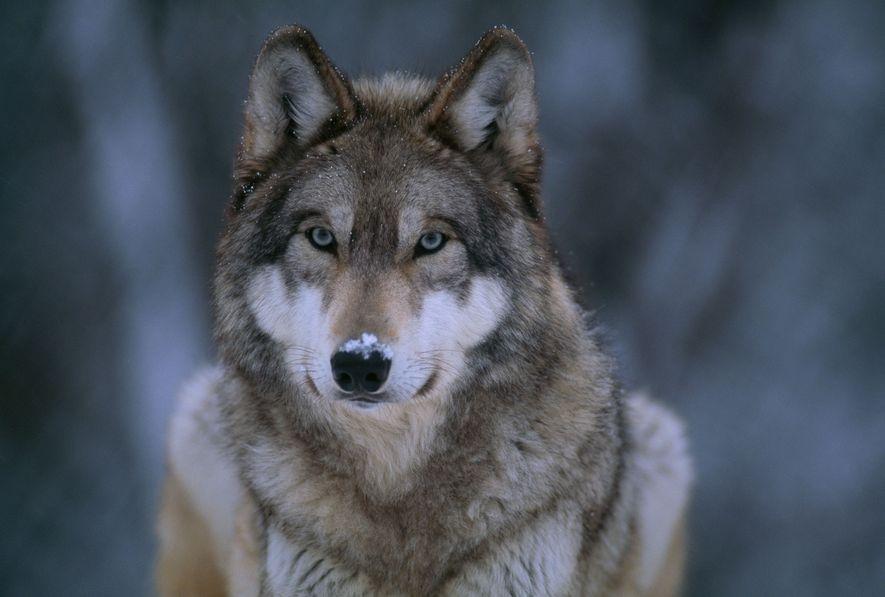 Die Wolfspopulationen im Yellowstone-Nationalpark haben sich erholt. Es drohen ihnen jedoch Gefahren, wenn sie die Grenzen ...