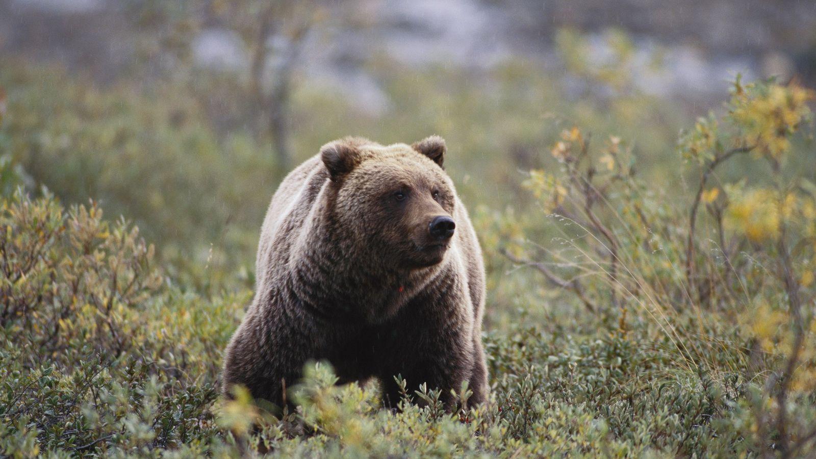 Ein Grizzlybär schnuppert im Wind nach Spuren von Nahrung oder Gefahr. Ein Teil der DNA dieses ...