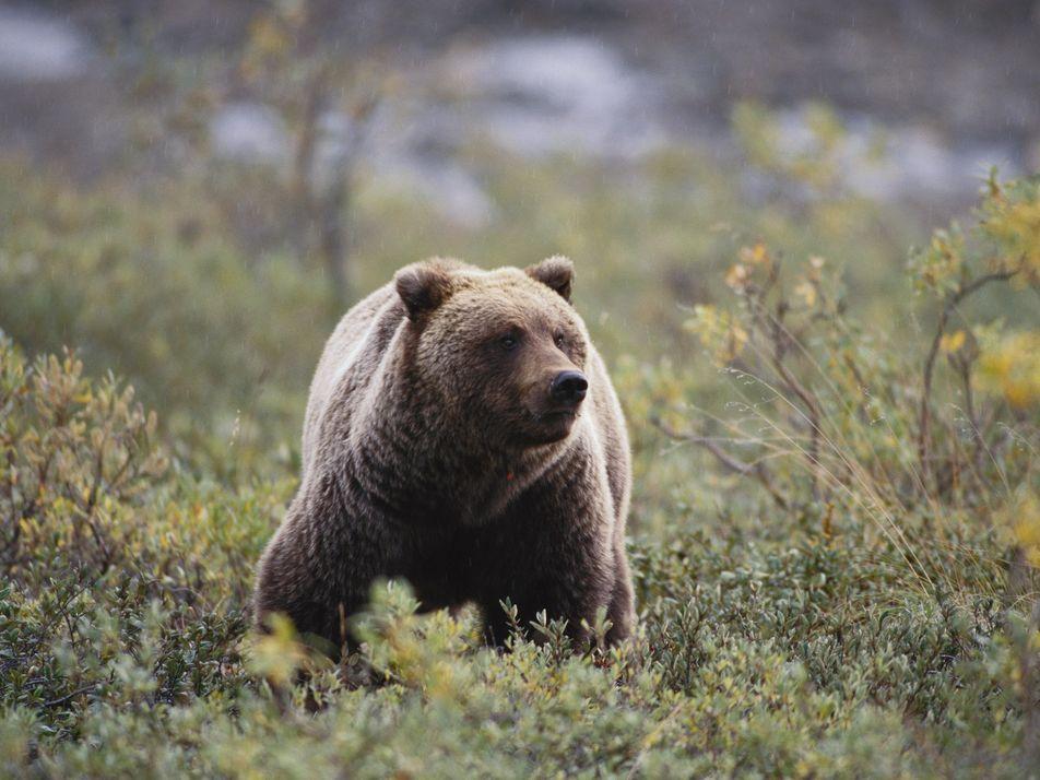 Ausgestorbener Höhlenbär lebt in heutigen Tieren weiter