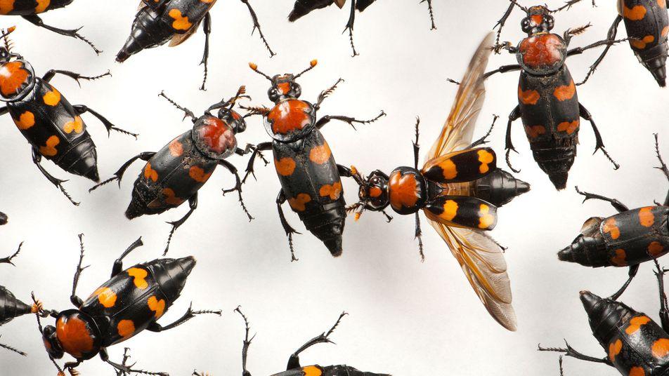 Heilende Maden & leichenfressende Käfer: Insekten mit schaurigen Jobs