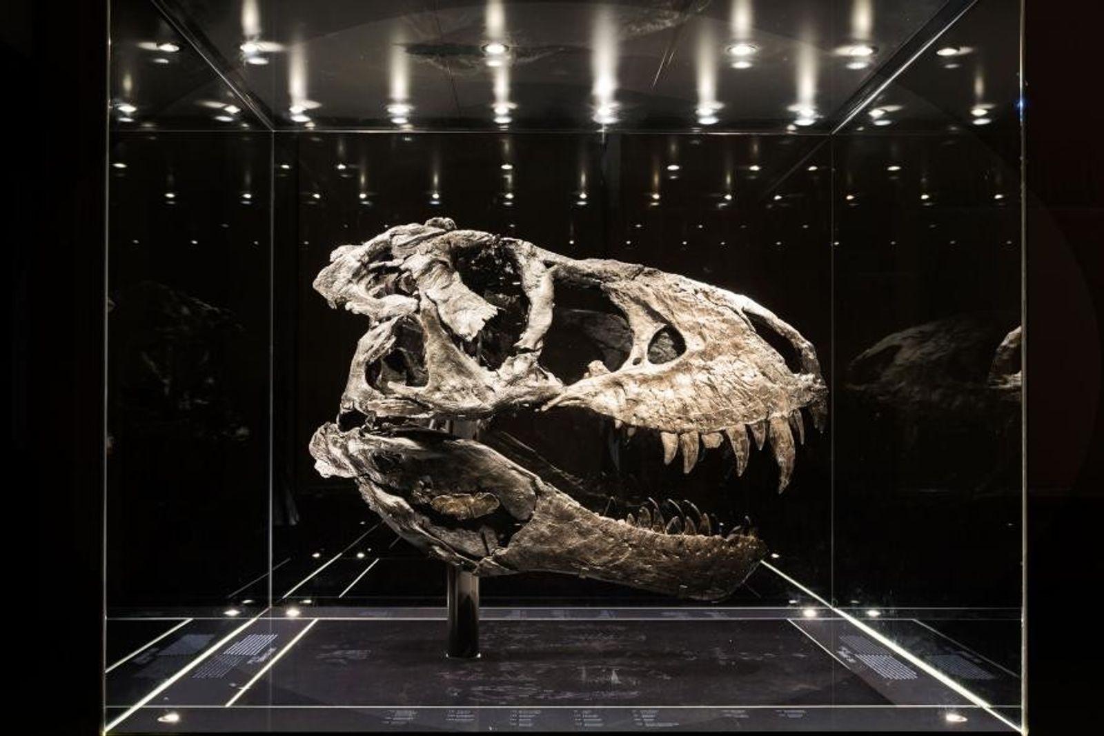 """Dieser fast komplette Schädel gehört zum vollständigsten in Europa ausgestellten Exemplar eines Tyrannosaurus rex. Von """"Tristan ..."""