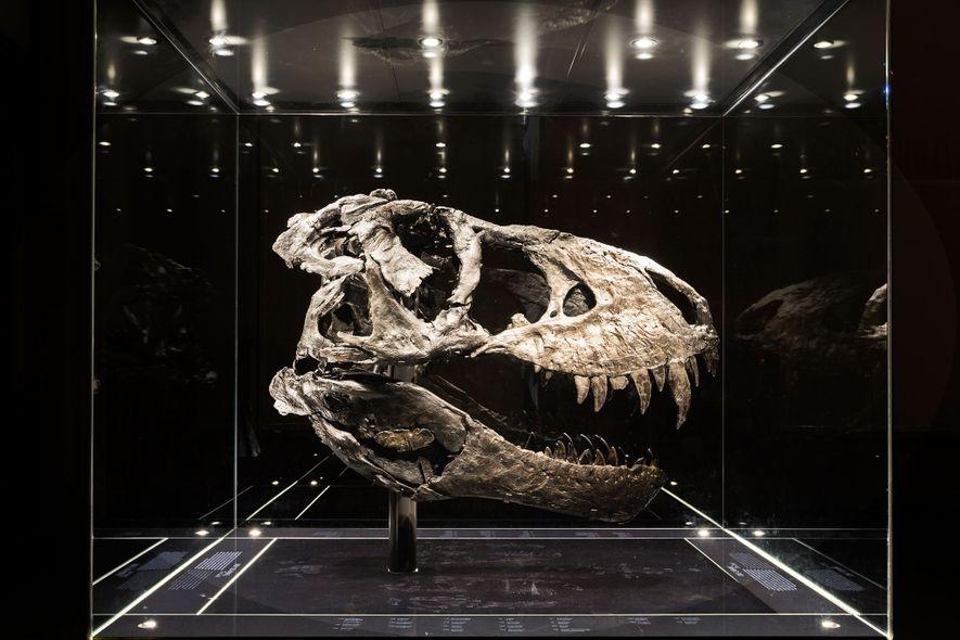 """Dieser fast komplette Schädel gehört zum vollständigsten in Europa ausgestellten Exemplar eines Tyrannosaurus rex. Von """"Tristan …"""
