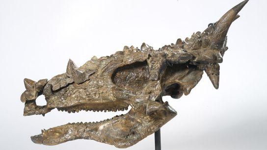 Eine Rekonstruktion des versteinerten Pachycephalosaurus-Schädels weist Zähne auf, die denen von Theropoden ähneln.