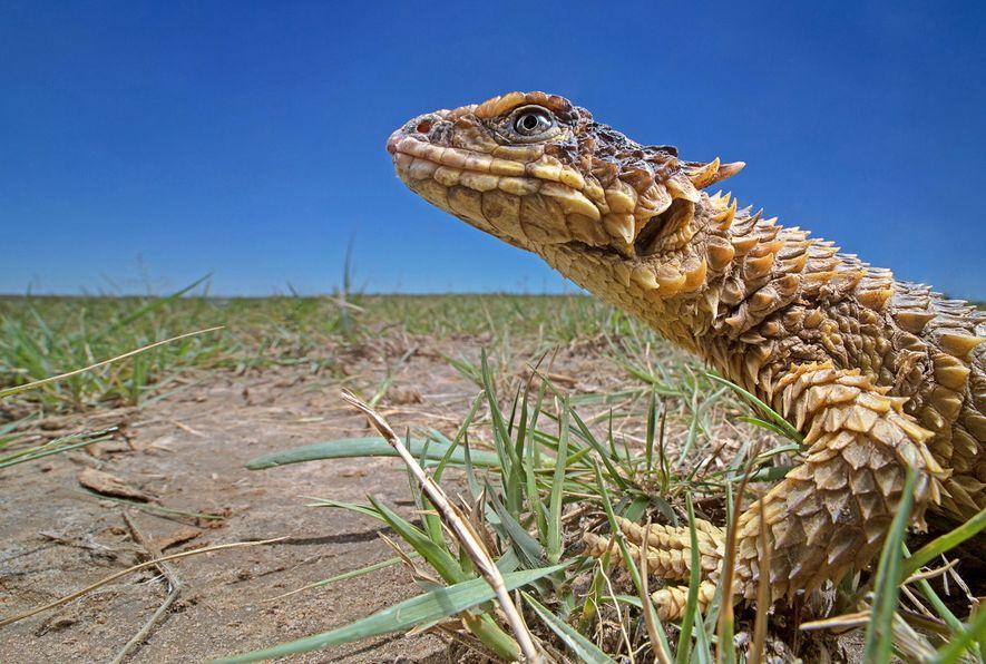 """Nach Smaug benannte """"Drachen""""-Eidechse verliert gegen Wilderer"""