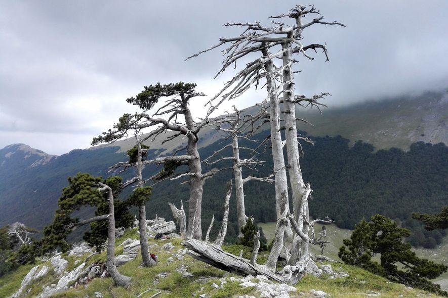 Eine Gruppe aus toten und alten Schlangenhaut-Kiefern auf einem Bergkamm im italienischen Nationalpark Pollino, wo Forscher ...