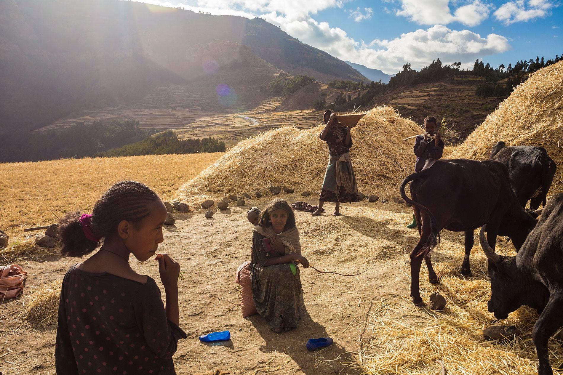 Mit Handwerkzeugen und Zugtieren erntet eine Familie im äthiopischen Hochland Getreide. Die Bewohner der Region werden ...