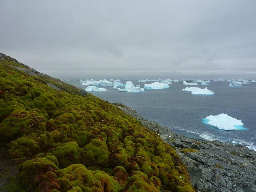 Grüne Antarktis: Moos verändert den weißen Kontinent