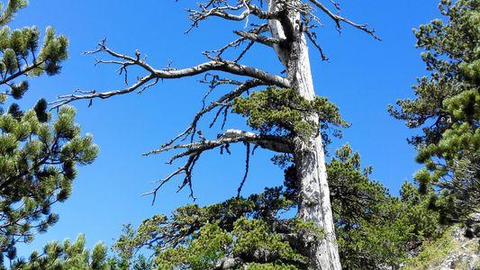 Ältester Baum Europas entdeckt – und er hat einen Wachstumsschub