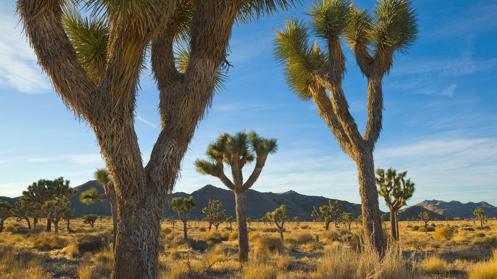 Die Josuabäume sind ebenso bekannt wie beliebt.