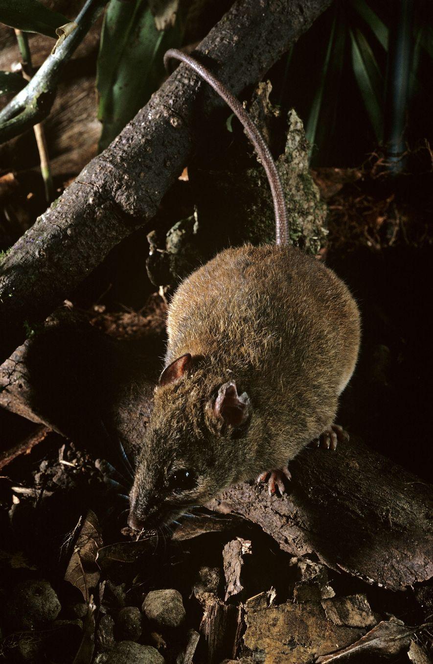 Diese Mosaikschwanzratten-Art ist mit jener Art verwandt, die Wissenschaftlern zufolge auf Bramble Cay ausgestorben ist.