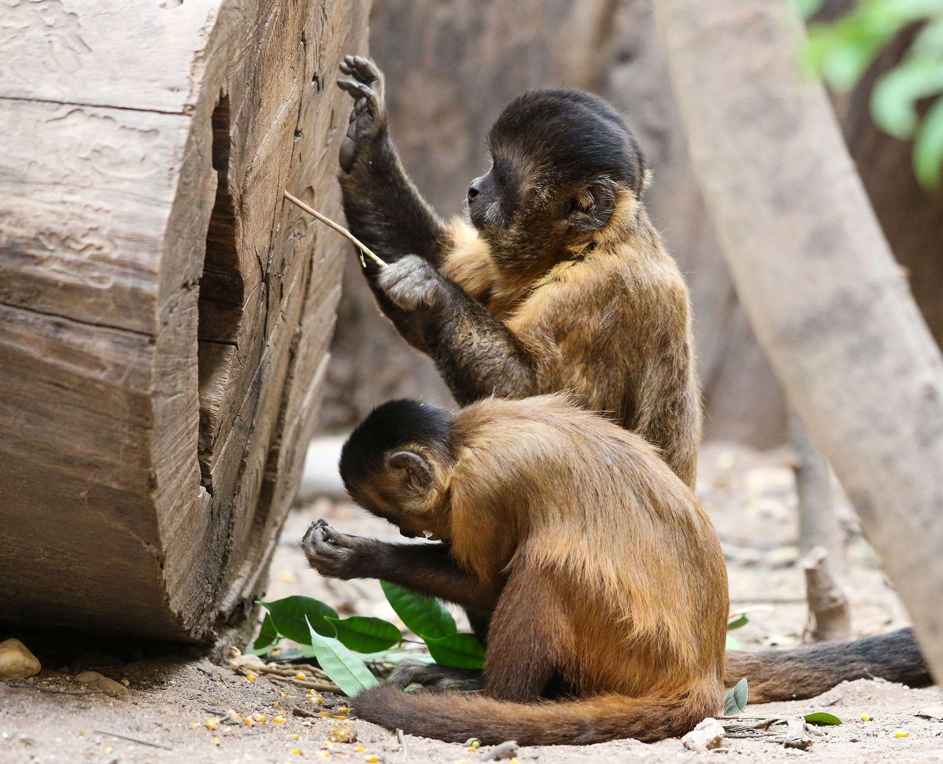 Wilde Kapuzineraffen in Serra da Capivara in Brasilien benutzen seit mindestens 3.000 Jahren Steinwerkzeuge – und ...