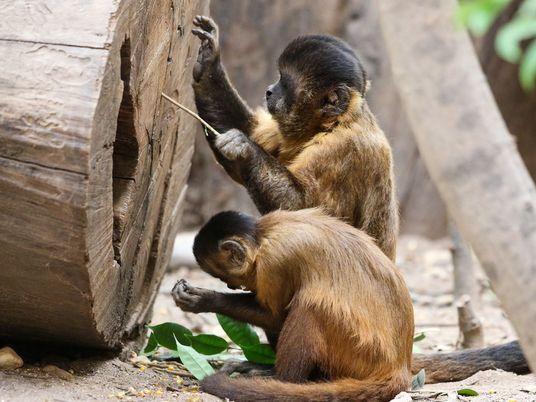 Diese Affen befinden sich seit 3.000 Jahren in der Steinzeit