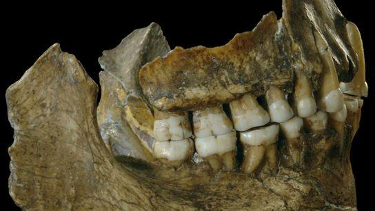 Der Kiefer eines Neandertalers, der in Belgien gefunden wurde, liefert durch den Zahnschmelz genetische Hinweise auf ...