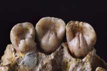 Ähnlich wie die in der Studie analysierten Zähne könnten auch diese Kauwerkzeuge von Neandertalern Geheimnisse über ...