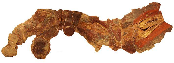 Dieses Fossil der prähistorischen Hai-Gattung Phoebodus wurde in Marokko gefunden.
