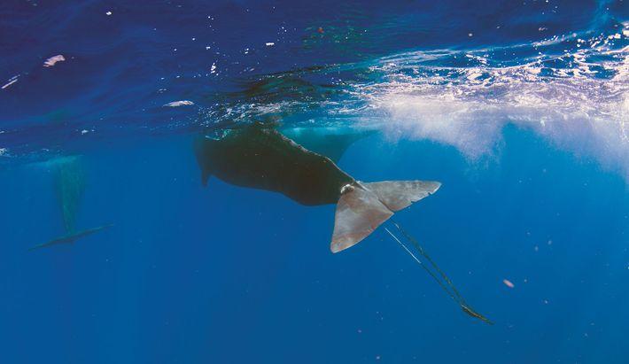 Digit kam durch ein einziges Stück Seil fast ums Leben. Viele andere Meerestiere überleben ihre Begegnung ...