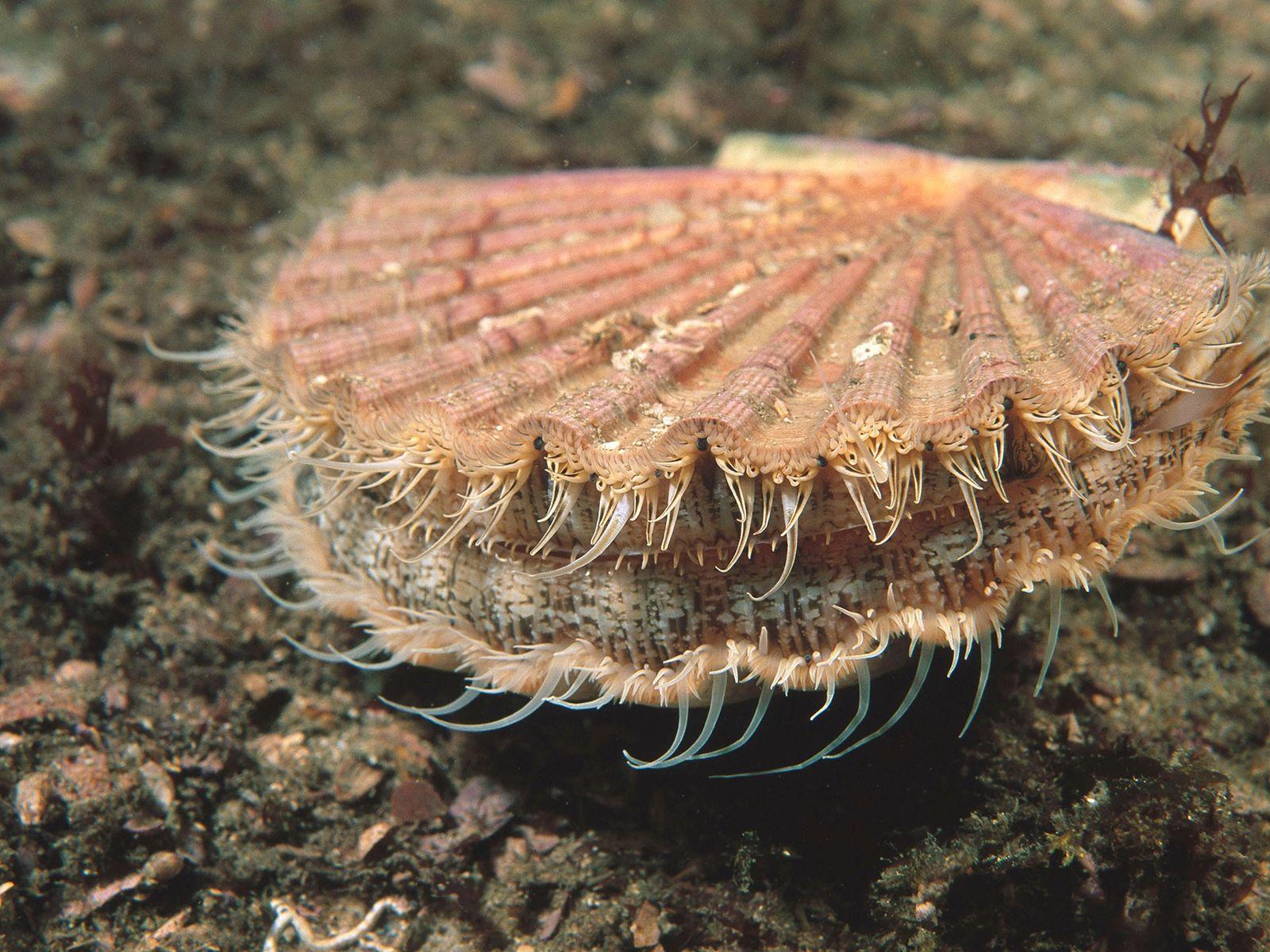 Die Große Pilgermuschel (Pecten maximus) ist eine beliebte Speisemuschel und kann binnen Stunden Milliarden von Plastikpartikeln ...