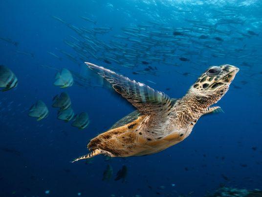 Galerie: 13 Aufnahmen seltener Meeresschildkröten