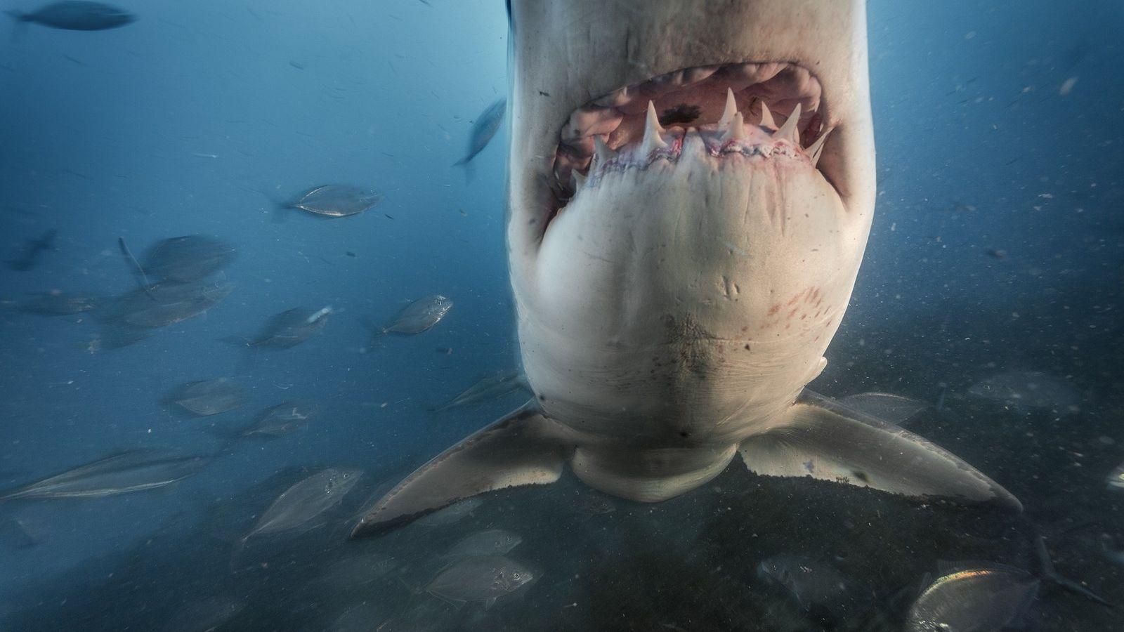Ein Weißer Hai vor den South Neptune Islands in Australien.