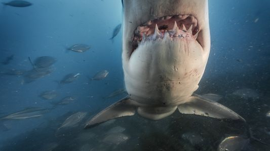 Warum haben wir Angst vor Haien?