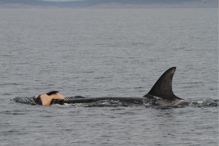 Auch Wale trauern um ihre Toten