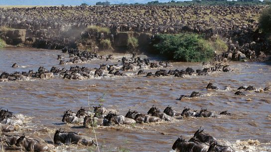 Grus in der Serengeti